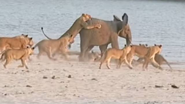 Baby Elephant Survives Lion Attack [VIDEO] Lion Vs Elephant