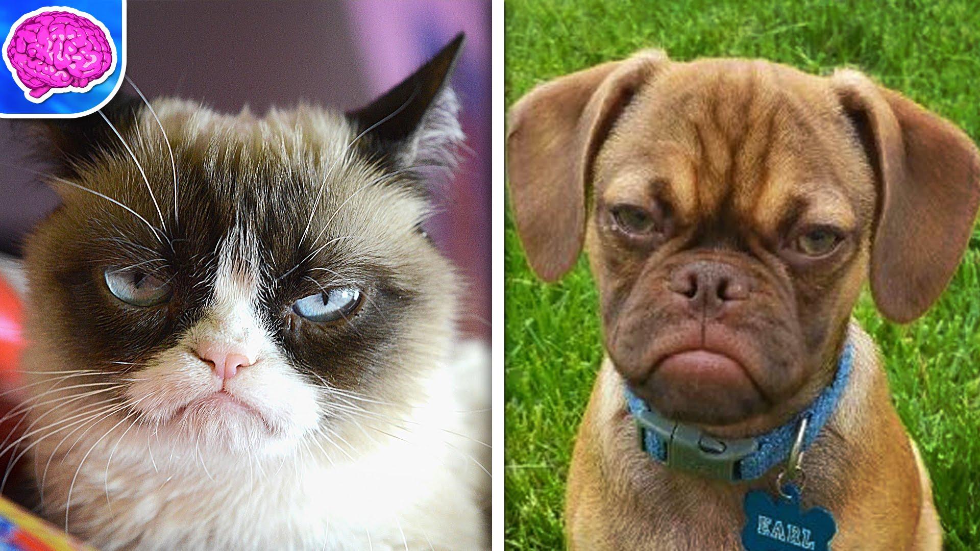 Grumpy Cat Breed