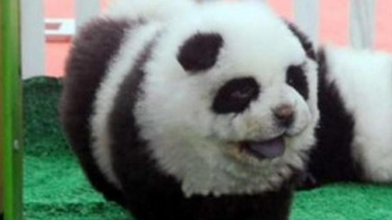 panda dog breed - photo #24